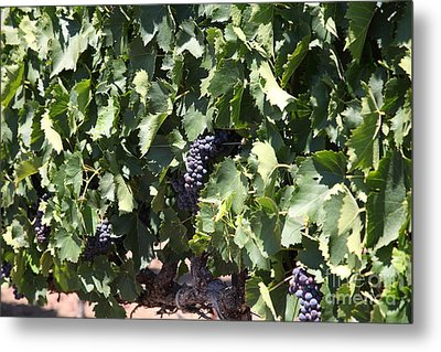 Sonoma Vineyards In The Sonoma California Wine Country 5d24489 Metal Print by Wingsdomain Art and Photography