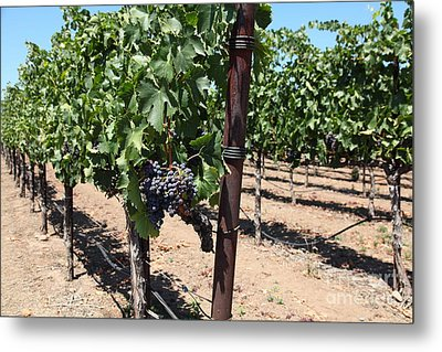 Sonoma Vineyards In The Sonoma California Wine Country 5d24490 Metal Print by Wingsdomain Art and Photography