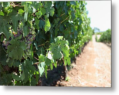 Sonoma Vineyards In The Sonoma California Wine Country 5d24510 Metal Print by Wingsdomain Art and Photography