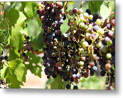 Sonoma Vineyards In The Sonoma California Wine Country 5d24572 Metal Print by Wingsdomain Art and Photography