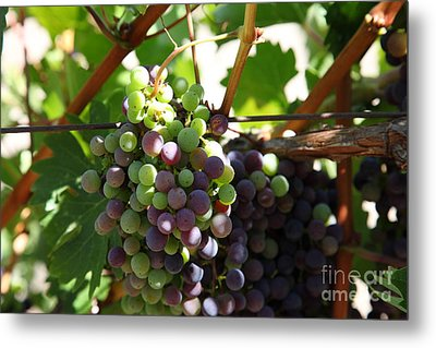 Sonoma Vineyards In The Sonoma California Wine Country 5d24578 Metal Print by Wingsdomain Art and Photography