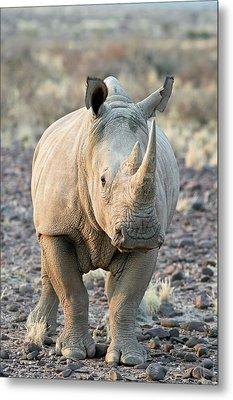 Sothern White Rhinoceros Metal Print
