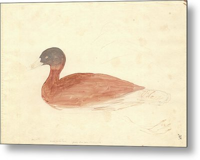 South African Shelduck Metal Print by Natural History Museum, London