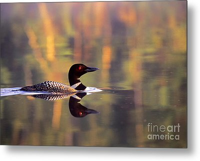 South Cove Loon Metal Print