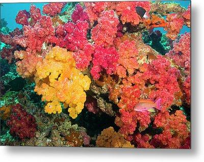 South Pacific, Fiji, Rainbow Reef Metal Print