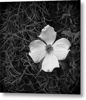 Southern Dogwood Metal Print by Carrie Cranwill