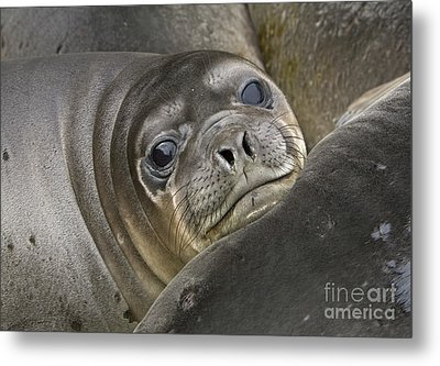 Southern Elephant Seal Pup South Metal Print by Yva Momatiuk and John Eastcott