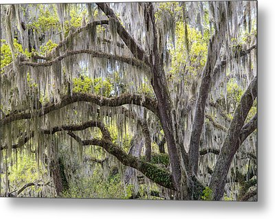 Southern Live Oak With Spanish Moss Metal Print by Scott Leslie