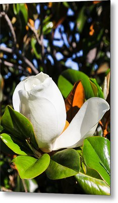Southern Magnolia Blossom Metal Print