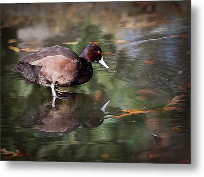 Metal Print featuring the photograph Southern Pochard by Tyson and Kathy Smith