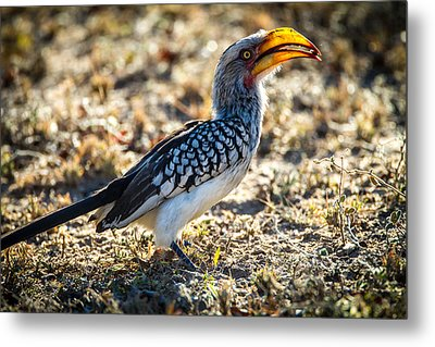Southern Yellow Billed Hornbill Metal Print by Craig Brown