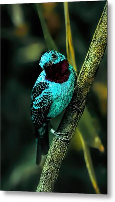 Metal Print featuring the painting Spangled Cotinga Turquoise Bird by Tracie Kaska