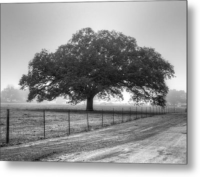 Spanish Oak Black And White Metal Print by Lanita Williams