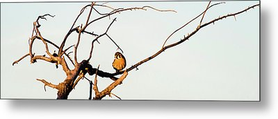 Sparrow Hawk Perching On Bare Tree Metal Print by Panoramic Images