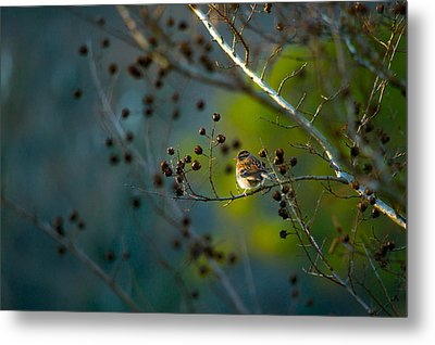 Sparrow In The Warm Light Metal Print by Shelby  Young