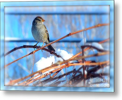 Metal Print featuring the photograph Sparrow On Grapevine by Heidi Manly