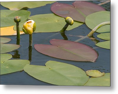 Metal Print featuring the photograph Spatterdock Heart by Paul Rebmann