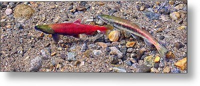 Metal Print featuring the photograph Spawning Pair by Jim Thompson