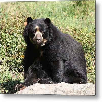 Speckled Bear Metal Print by John Telfer
