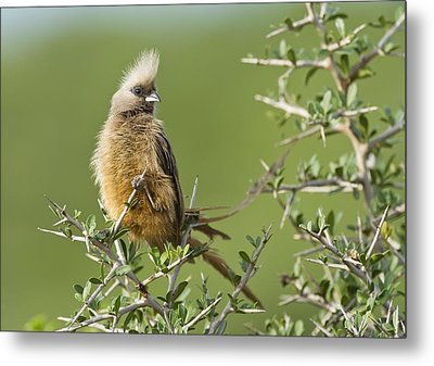 Speckled Mousebird Metal Print by Science Photo Library