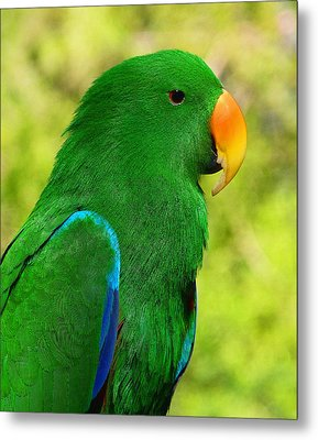 Spectacular Eclectus Parrot Metal Print by Margaret Saheed