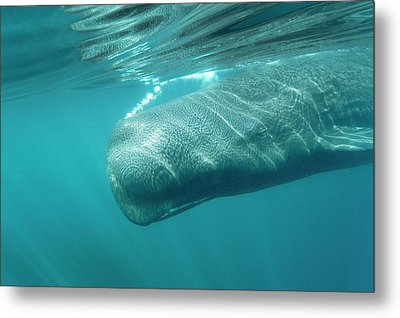 Sperm Whale Metal Print by Christopher Swann