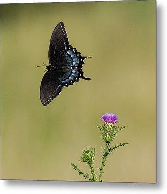 Spicebush Swallowtail 2 Metal Print by David Lester