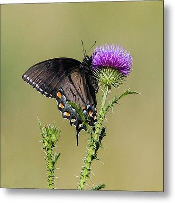 Spicebush Swallowtail 3 Metal Print by David Lester