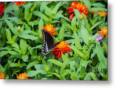 Spicebush Swallowtail Metal Print by Angela DeFrias