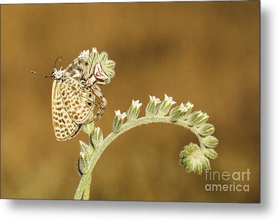 Spider Feeds On A Butterfly 3  Metal Print