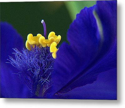 Spiderwort Up Close Metal Print by Suzy Piatt