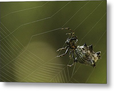Spiny Backed Orb Weaver Metal Print by Tom Cameron