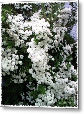 Metal Print featuring the photograph Spirea Bridal Veil by Barbara Griffin