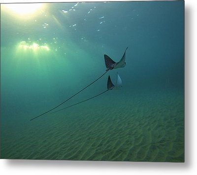 Spotted Eagle Rays During Sunset Metal Print by Brad Scott
