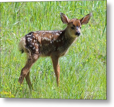Spotted Fawn  Metal Print by Michele Penner