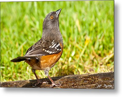Spotted Towhee Looking Up Metal Print