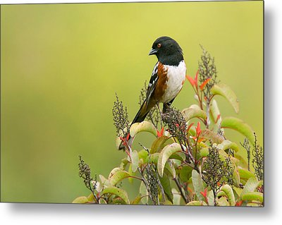 Metal Print featuring the photograph Spotted Towhee by Ram Vasudev