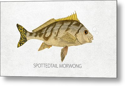 Spottedtail Morwong Metal Print by Aged Pixel