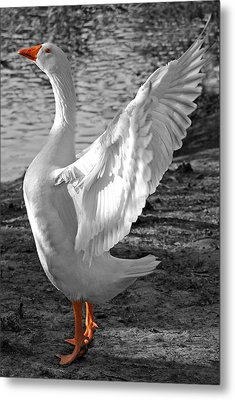 Spread Your Wings B And W Metal Print by Lisa Phillips