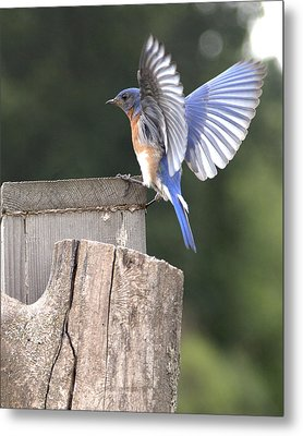 Spread Your Wings Metal Print by John Crothers