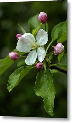 Metal Print featuring the photograph Spring Apple Blossom Encircled By Pink Buds by Gene Walls
