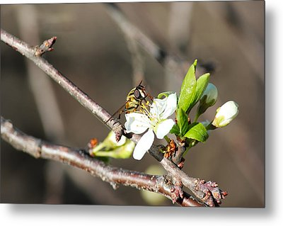 Metal Print featuring the photograph Spring Bee On Apple Tree Blossom by Ryan Crouse