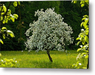Spring - Blooming Apple Tree And Green Meadow Metal Print