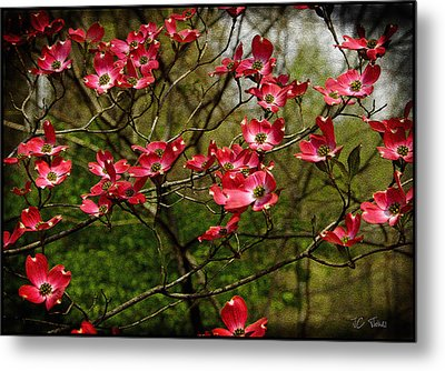 Metal Print featuring the photograph Pink Spring Dogwood Blooms  by James C Thomas