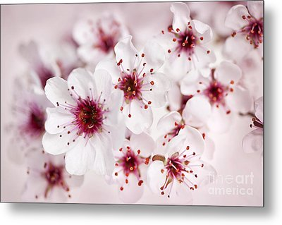 Spring Cherry Blossom Metal Print by Elena Elisseeva