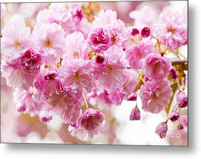 Spring Cherry Blossoms  Metal Print