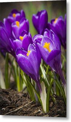 Spring Crocus Bloom Metal Print