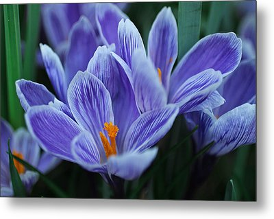 Spring Crocus Metal Print by Julie Andel