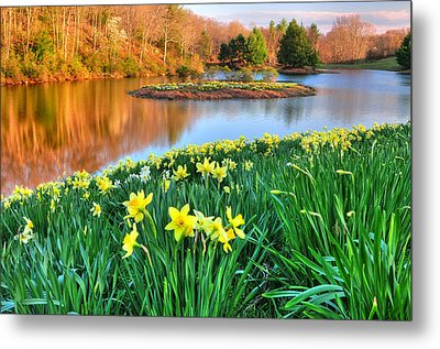 Spring Daffodils At Laurel Ridge-connecticut  Metal Print by Thomas Schoeller