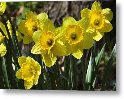 Spring Daffodils Metal Print by Christina Rollo